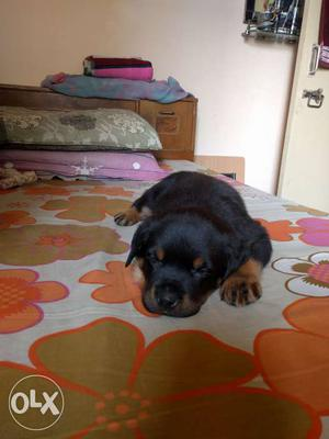 35 days old Rottweiler male puppy for sale.