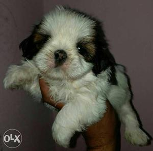 Adorable Supercute puppies available for Loving