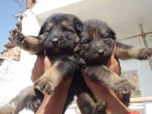 All breed puppies for sel