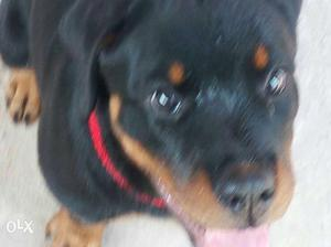 Female Show quality high breed Rottweiler Puppy