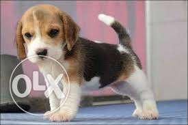 French kennel beagle puppies available in mumbai
