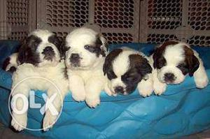 HUMANITY KENNEL;-saint bernard indias best ppupppyy i am