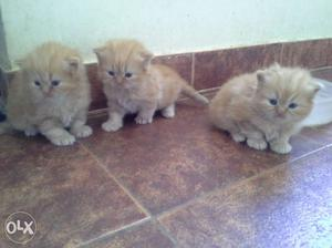 High quality persian kittens available.
