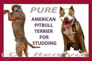 Import lineage red nose heavy american pitbull terrier for