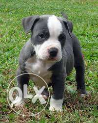 Kennel American bully female male dog for sell