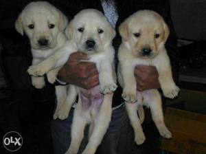 Labrador female puppy avilable for show home. i m