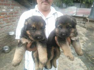 Male female German shepherd pupps avilable for show home.