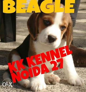 NOIDA KENNEL**BEAGLE Pups with bloodline
