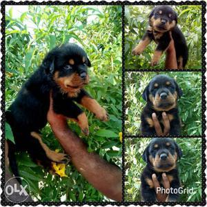 Labrador Dogs For Free Adoption In Mumbai