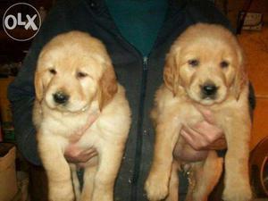 Pedigree Golden Retriever Puppies for sales in chennia