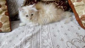 Persian male kitten is of 2 months is very active