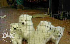 Pomeranian puppies available here interested