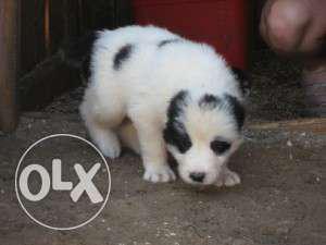 Princy kennel:-Adorable Supercute Saint bernard pup sale for