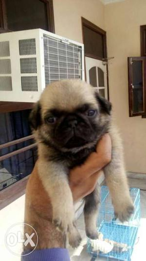 Pug male pupi available in jalandhar