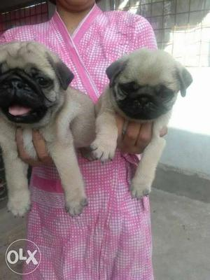 Pug puppy ready for sale in ranchi pet plaza