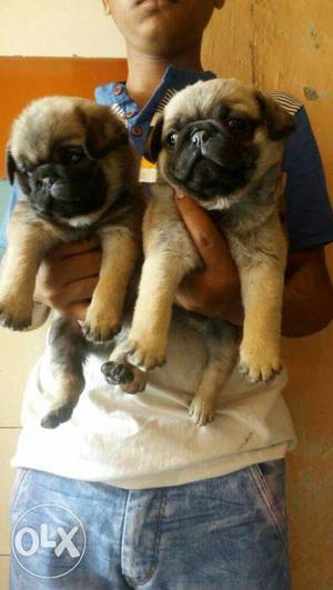 Pug puppy se starting all breed available...all
