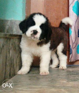 =STAR KENNEL=:-Unique top brid st bernard puppy available in