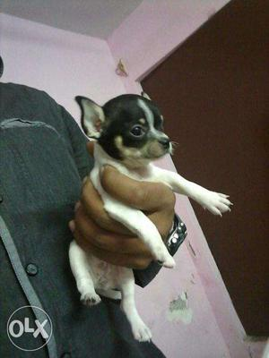 *!*STAR Kennel*!* chihuahua Top Breeding All Breed Puppies