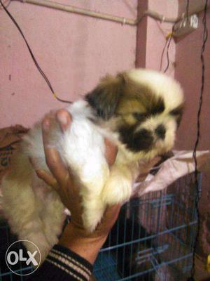 Shih Tzu Pups available IN delhi NEAR SAKET METRO