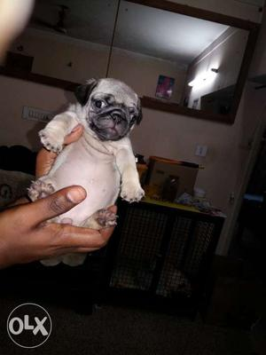 Show quality pug puppies for sale Sired by