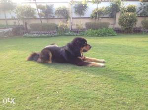 Tibetan gaddi male pup for sale top quality