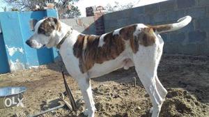 Pakistani bully kutta puppys availabel in mumbai | Posot Class