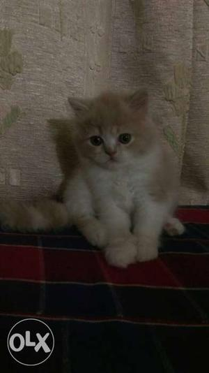 White And creme Coated Kitten