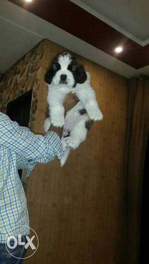 30days old import line Saint Bernard female pup available