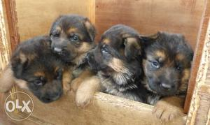 German Shepherd Puppies Available Here! Trust Kennel