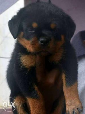 Rottweiler Show quality puppies available for show home's