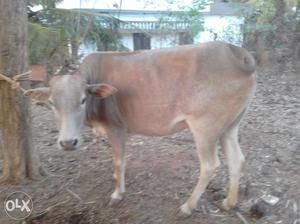 4months pregnant vechur cow