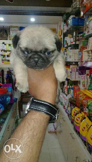 All breeds dogs puppy cat birds for sell deepkotakennel