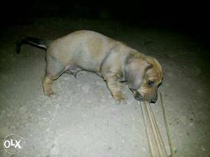 Deshound pupp we deal all types of breed 4 sell