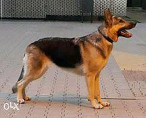 German shepherd male 1 year 7 months old...
