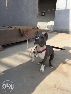 Gray And White American Staffordshire Terrier Puppy
