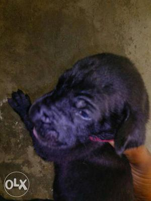 Great Dane puppy for sales 2 male puppy available