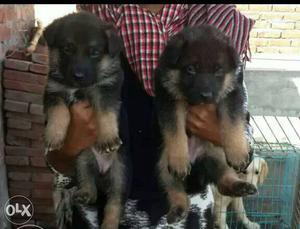 Gsd puppy double coat very massive heavy