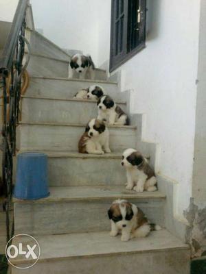 Heavy bone saint bernad pupp we deal all types of