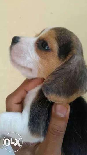 Home born Pure bloodline heavy bone beagle puppy