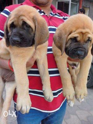 =KING KENNEL=BULL MASTIFF All breeds of puppies available