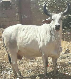 Kangrej pregnant cows available for sale milking