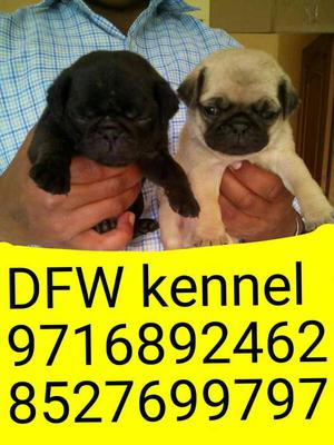 King of chotu breed** Pug puppies avilable