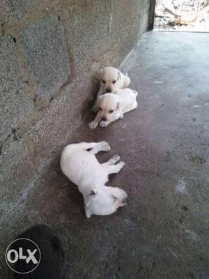 Lab puppies for sale at kollam thevalakkara