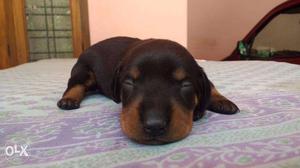 One month old daschaund. pure. heavy born. first litter.
