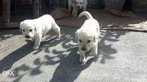 Pure lab puppies for sale at very low price