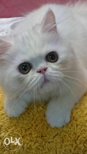 Red and white bi colour male, Van male kitten and