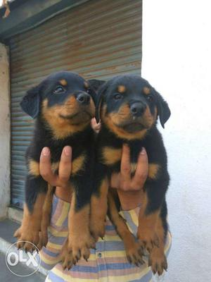 Rottweiler male puppy for sell