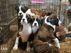Show quality Boxer male puppy available of 60days