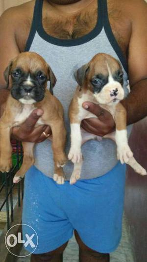 Show quality boxer puppies heavy puppy 35days