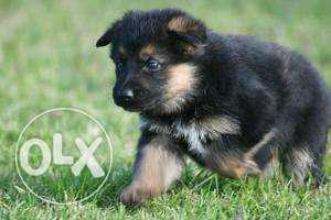 Show quality gsd puppies for sale